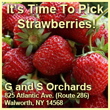 G and S Orchards in Walworth - Strawberry picking!