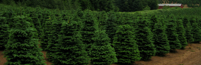 where to cut your own christmas trees in the greater rochester area - Cut Your Own Christmas Tree Farm